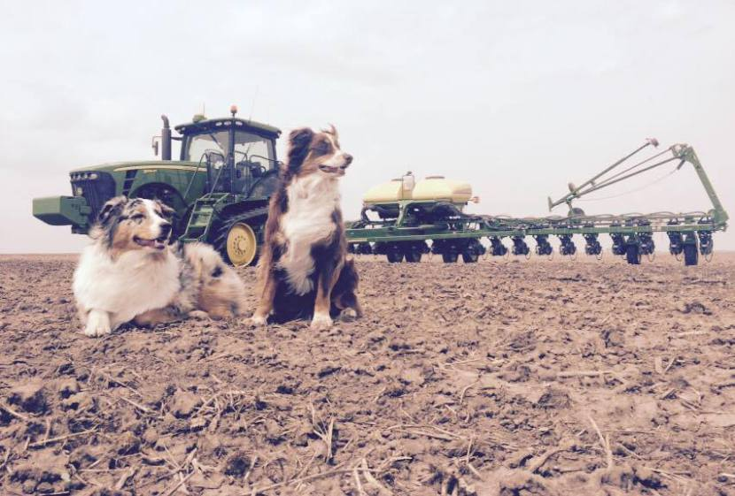 Farming field with dogs in foreground and tractor in background.
