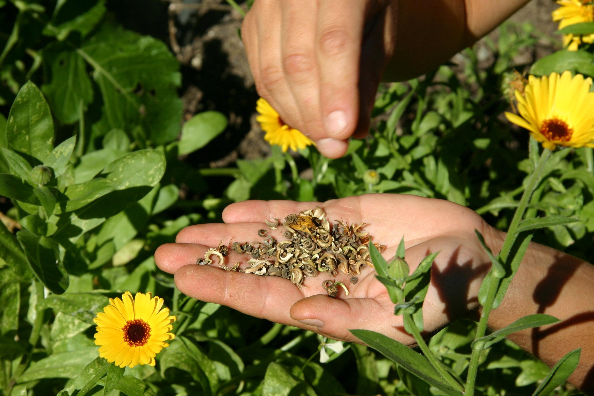 calendula seed