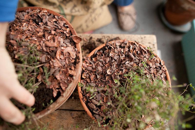 cocoa chaff mulch