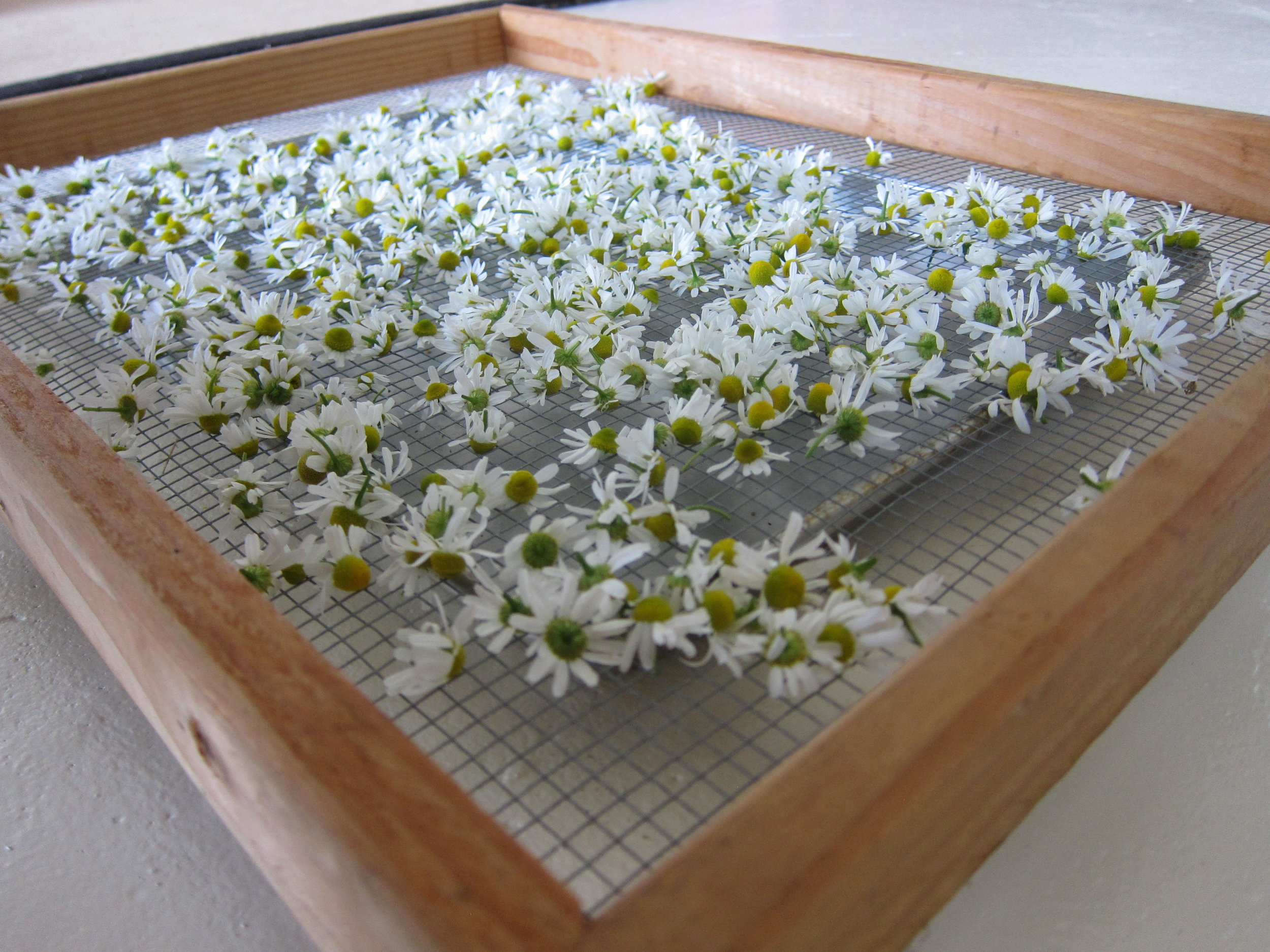 Drying Chamomile