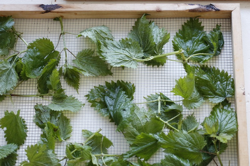 drying nettles
