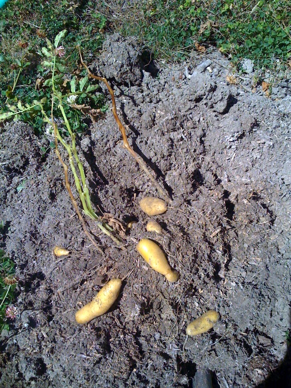 Potatoes, diggin up