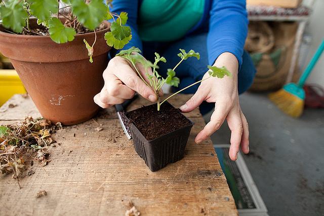 propagating scented geranium