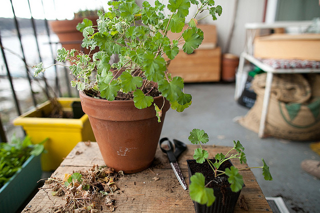 Propagating geranium