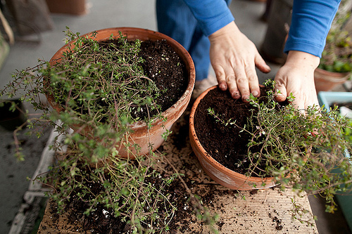 Root division, repotting thyme