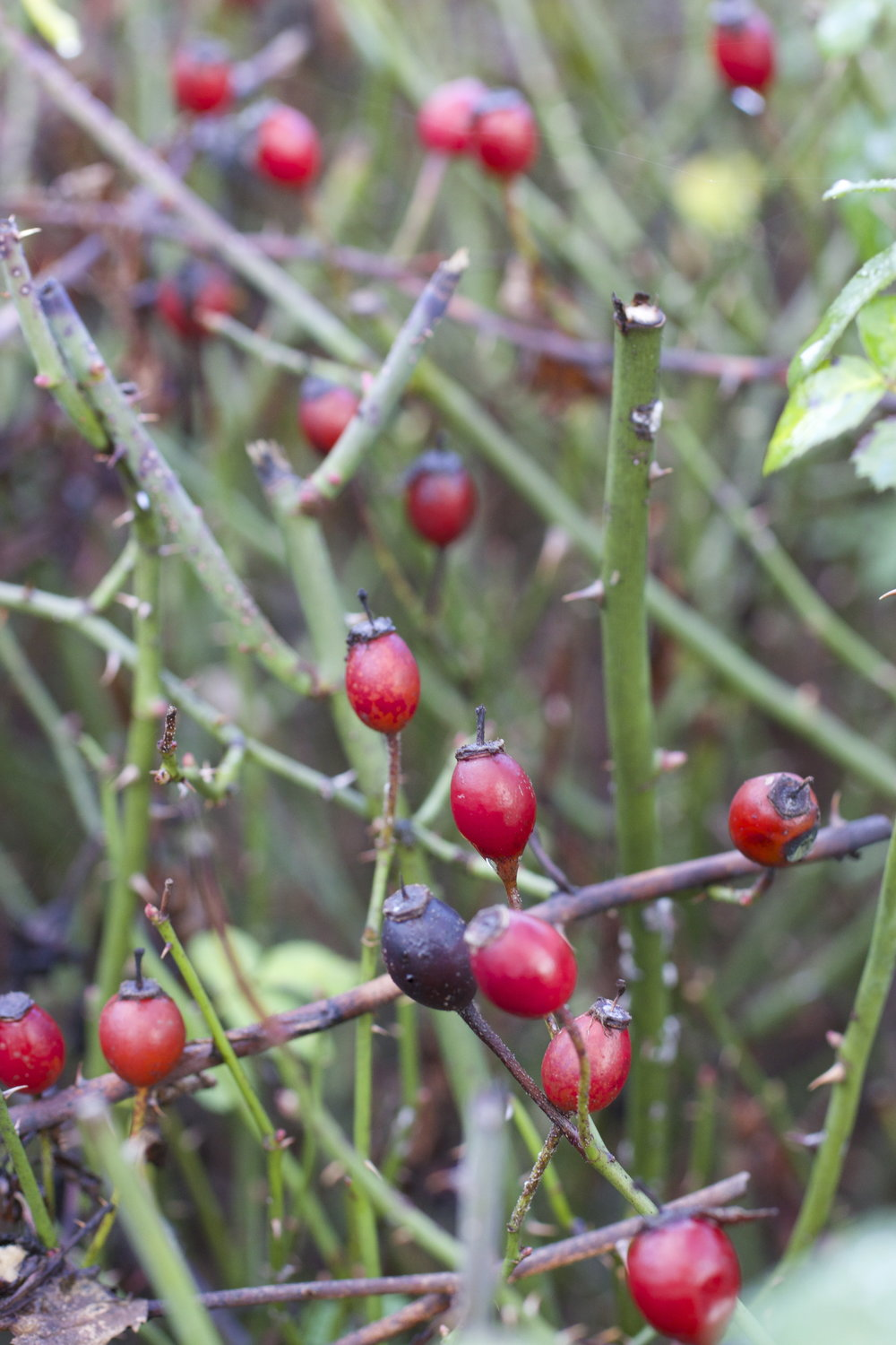How to dry rosehip: tips and tricks 58