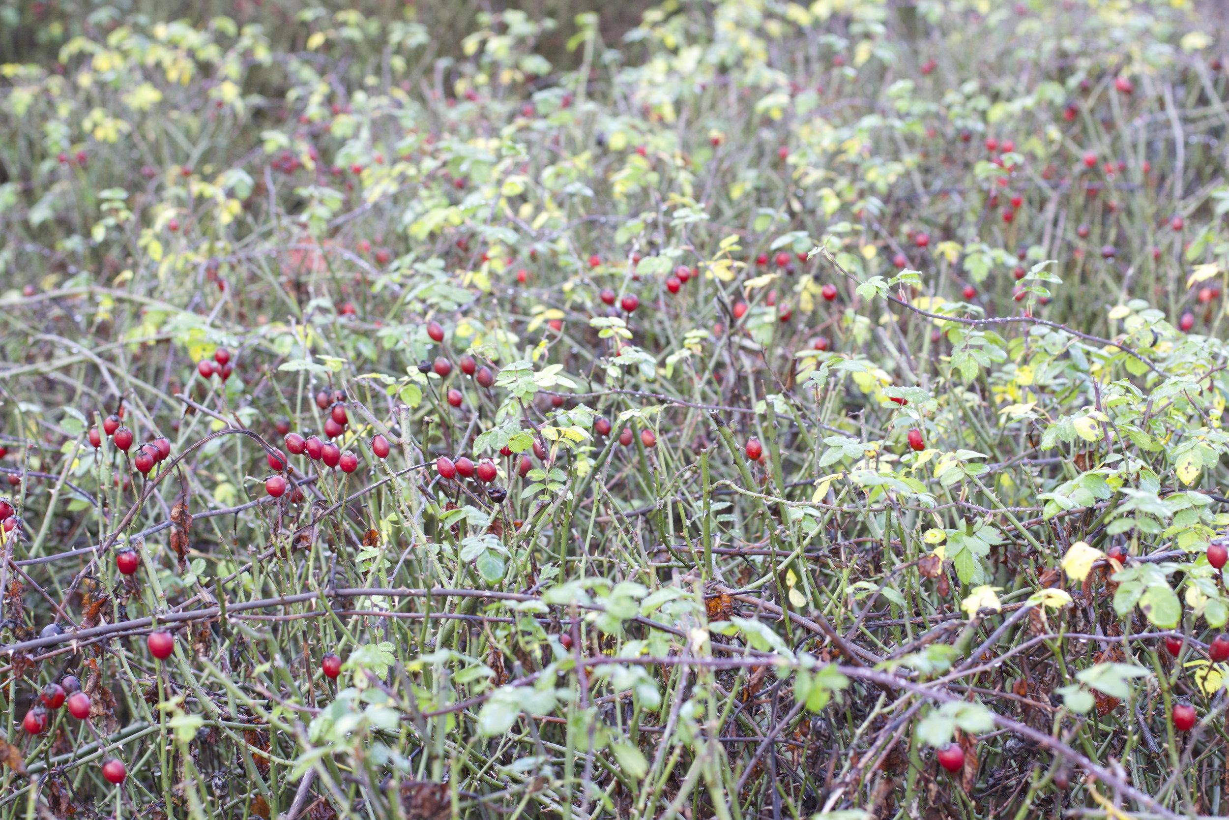 harvest & dry rose hips