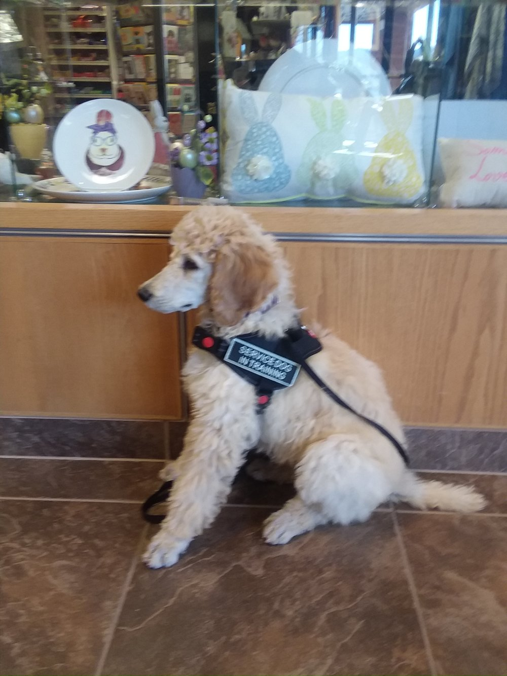 Meet Baldwin, MSD-WCP's first Mobility Service Dog in Training.