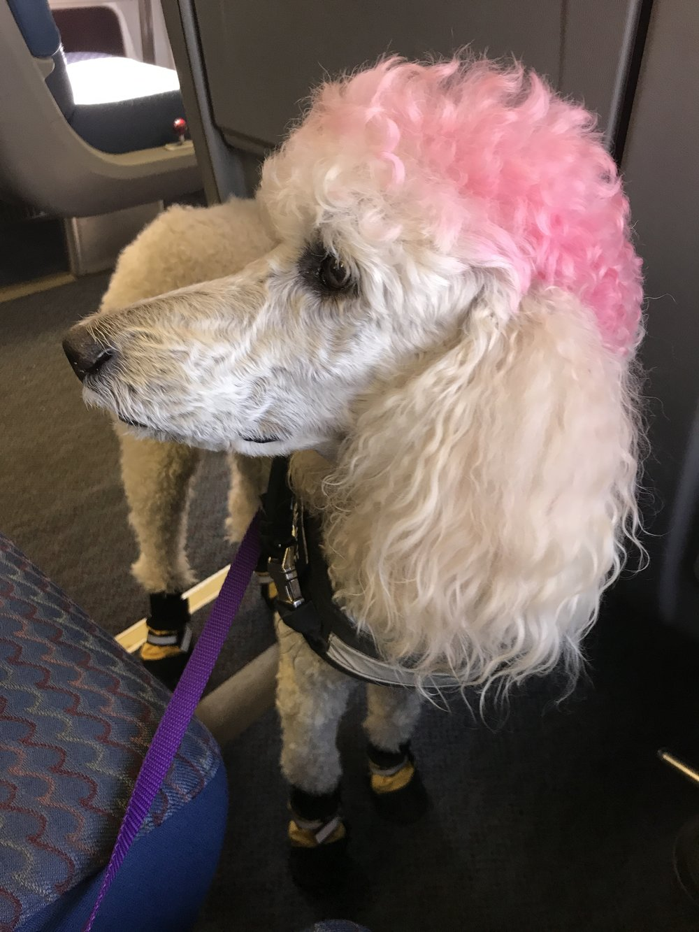 Co-founder's first Mobility Service Dog Phoebe. Scroll down for her story!