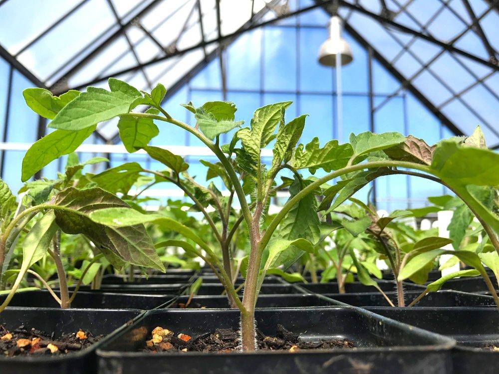 tomato+greenhouse.jpg