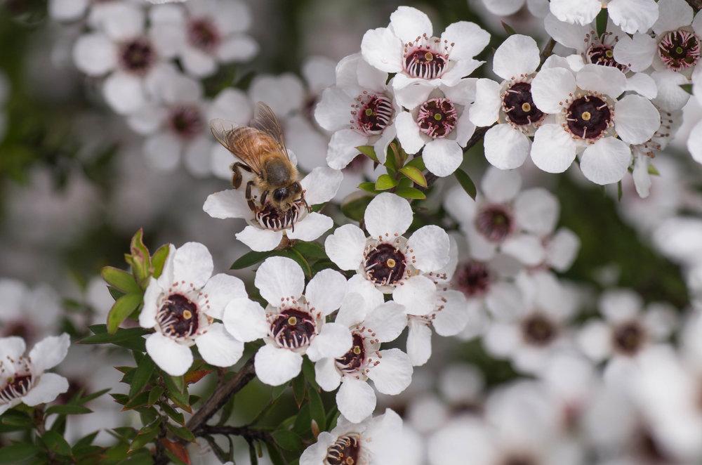 Manuka blossom + Bee.jpg
