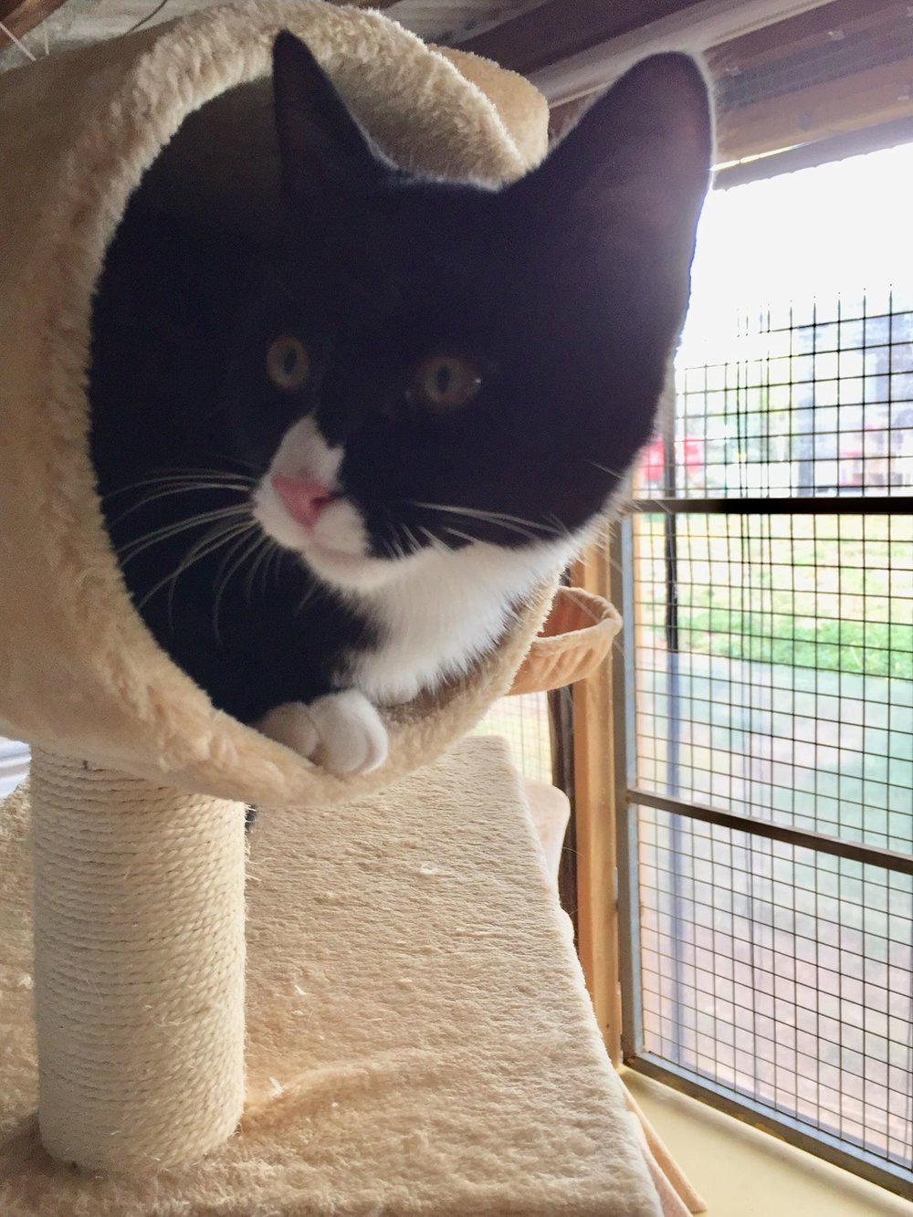 """Bob - The rescue lady and my vet keep telling me how handsome I am - do you think I'm handsome? They also keep telling me I was born without a purring """"off"""" switch because I can't stop purring! I'm 5 months old and would love a home and a nice comfy lap to sit on and be loved by my own human. All my vet work has been done and I'm lifetime registered too, all for $150."""