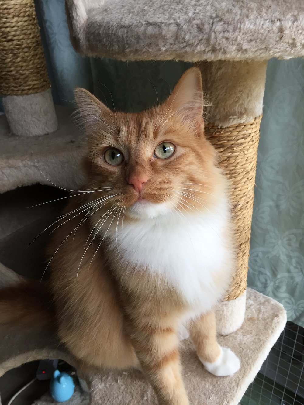 Rosie - Rosie is the most stunning girl and very affectionate at no more than 18 months old. All her vet work has been done, just needs a home she can call her own..