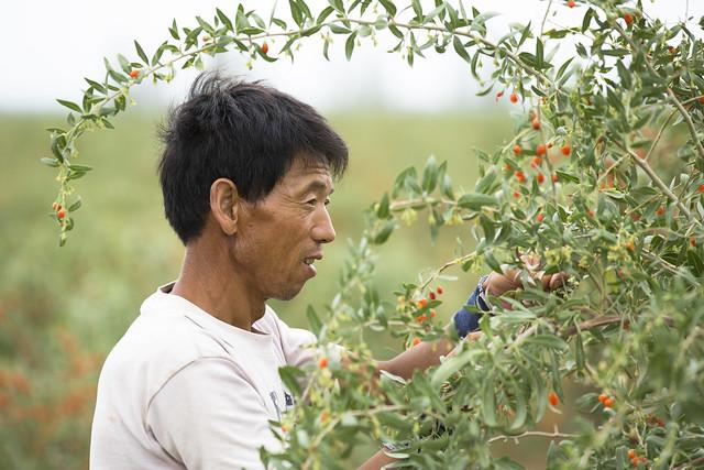 récolte de la baie de gojie en Chine