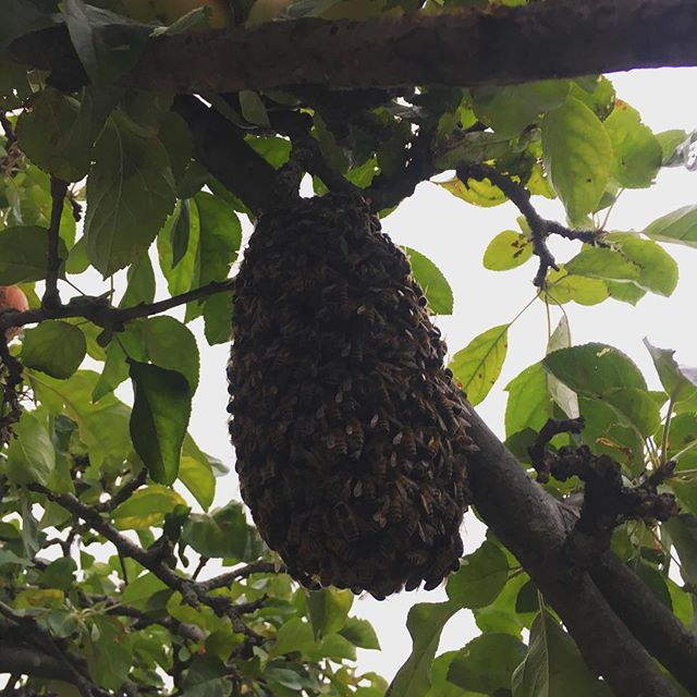 Bees in the Trees. Our neighbours Queen decided she wanted a new pad so made herself at home in our apple tree, and was soon to be surrounded by a swarming mass of workers, minions and loyal guards. One thriving pendulous blob of goodness knows how many bees, about a foot long. The owner felled them all into a wicker basket, gave them a ripe apple to encourage the stragglers to return, then took them home!  #forest of dean #bees  #beeswarm  #beessquad #swarm #queenbee #queenbee🐝👑 #wildhoney #localhoney #goodforyourhealth #can'tgowrongwithmilkandhoney #appletree #appleblossom #edibleflowers #clover #honeysuckle #maninanoutfit #whitebeesuits #victorianhats #mustnotgetstung #amazingsitetosee
