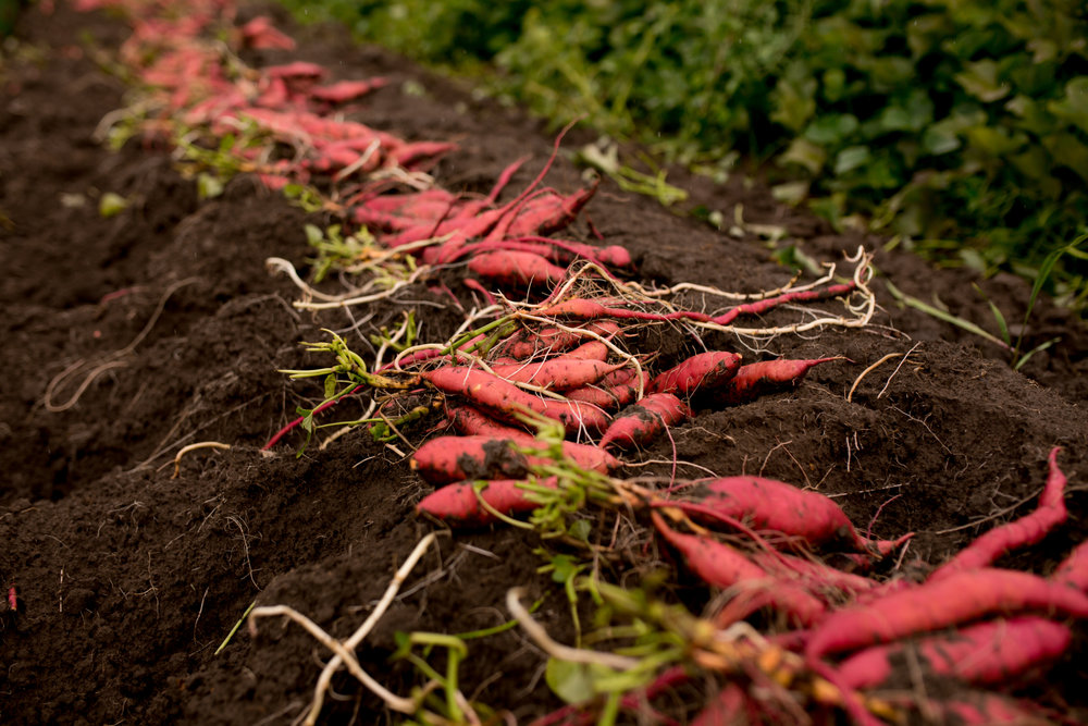 Sweet Potatoes are neither potatoes or yams. They are a tuberous, root vegetable of the Morning Glory family.
