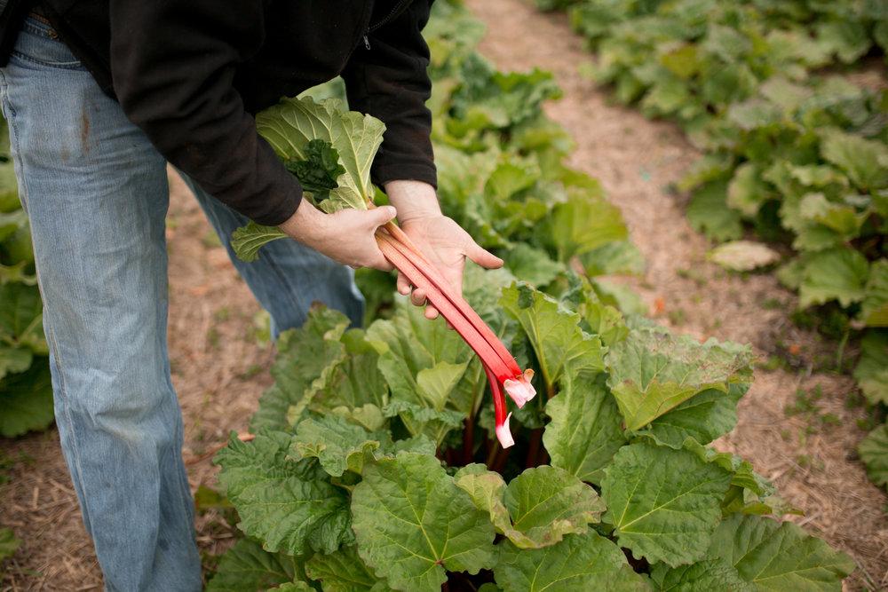 hiberryrhubarb-9.jpg