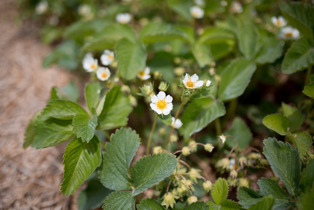 Clancy strawberries in bloom at  Hi-Berry Farm