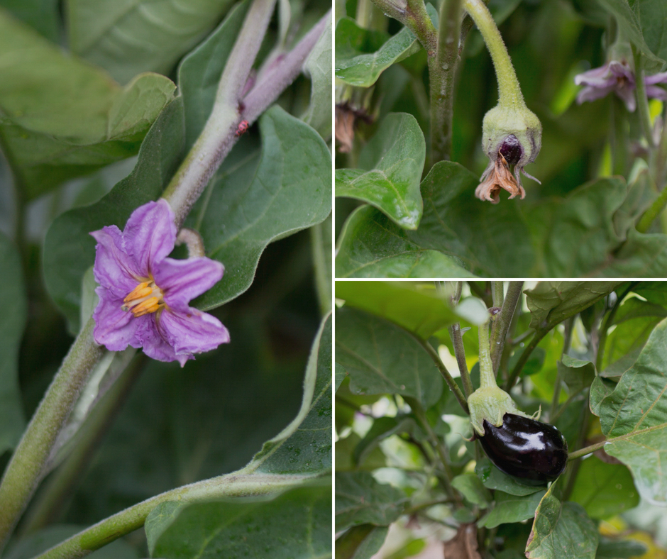 Eggplant at different stages at  Hi-Berry Farm