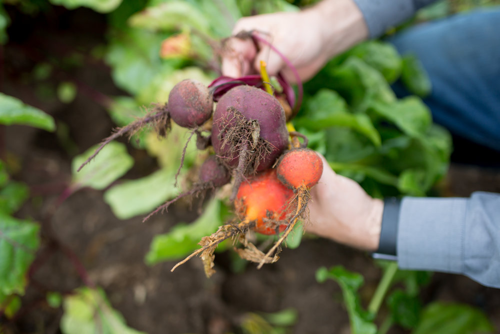 Red and deep golden beets fresh from the field at  Hi-Berry Farm . Both are beautiful but the difference is only skin deep; they taste about the same.