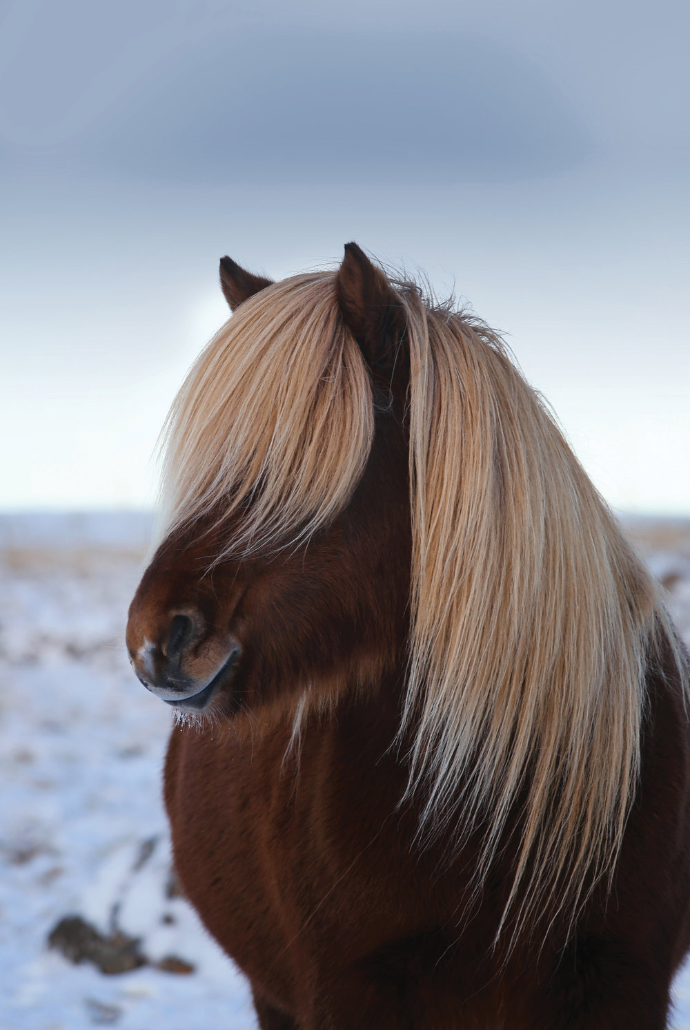 The Icelandic horse is another big reason why I love Iceland so much. My father owns three of them and I started horseback riding when I was little. During my first trip in 2015 a girl's dream became true and I spent 3 days riding with a free running herd in the Highlands. This was a life-changing experience for me and probably one of the coolest things I've done on my travels worldwide. These horses (it's important that you say horse, not pony) are the most warmth, giving and heart melting animals I know.