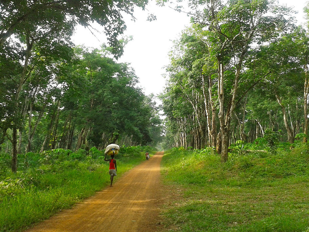 A rubber tree plantation in Margibi County, Liberia. Photo credit: Erik Cleves Kristensen,  Rubber Tree Plantation in Margibi County, Liberia ,  CC BY 2.0
