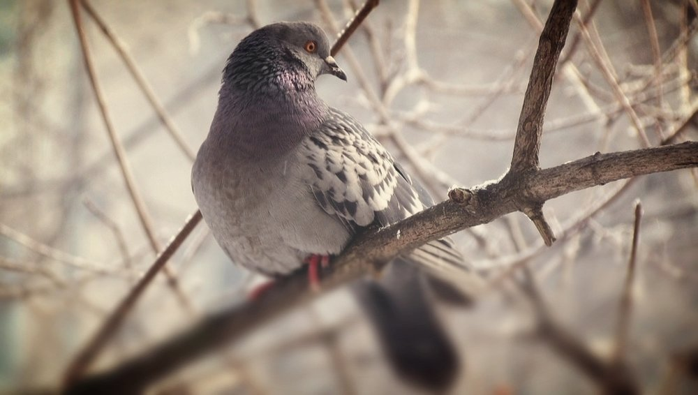 Pigeons become a danger to our health when they begin nesting in and around buildings. Their feces is can create breathing hazards as it piles up.