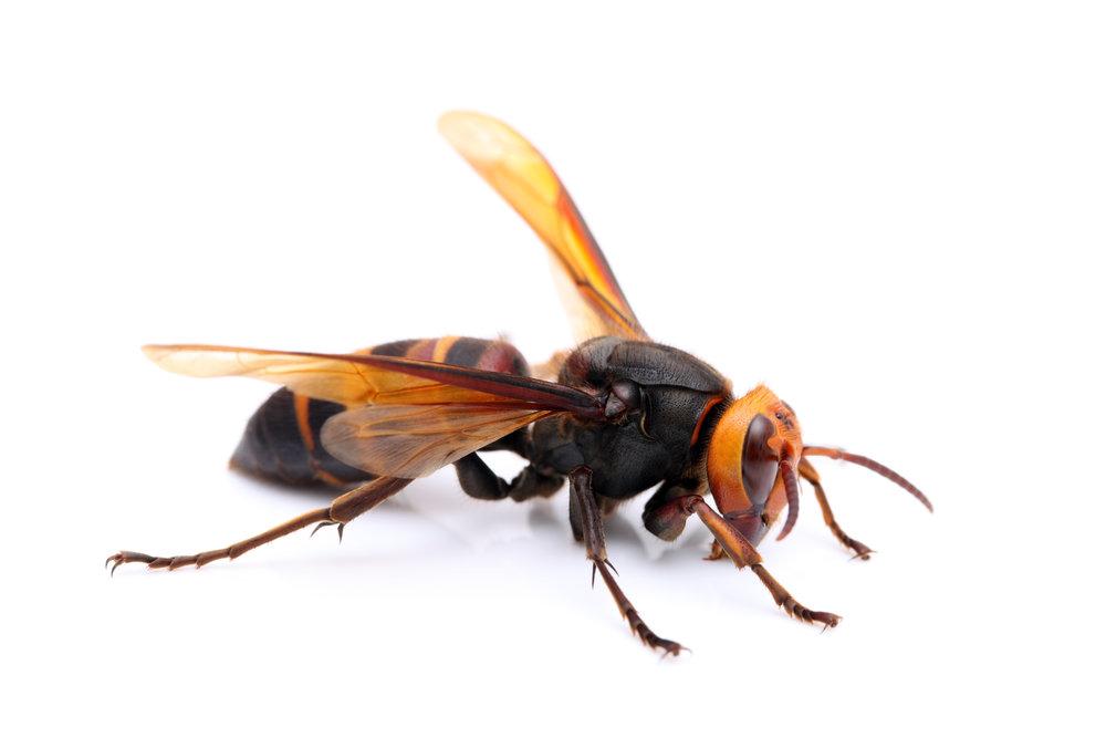 hornet-identification