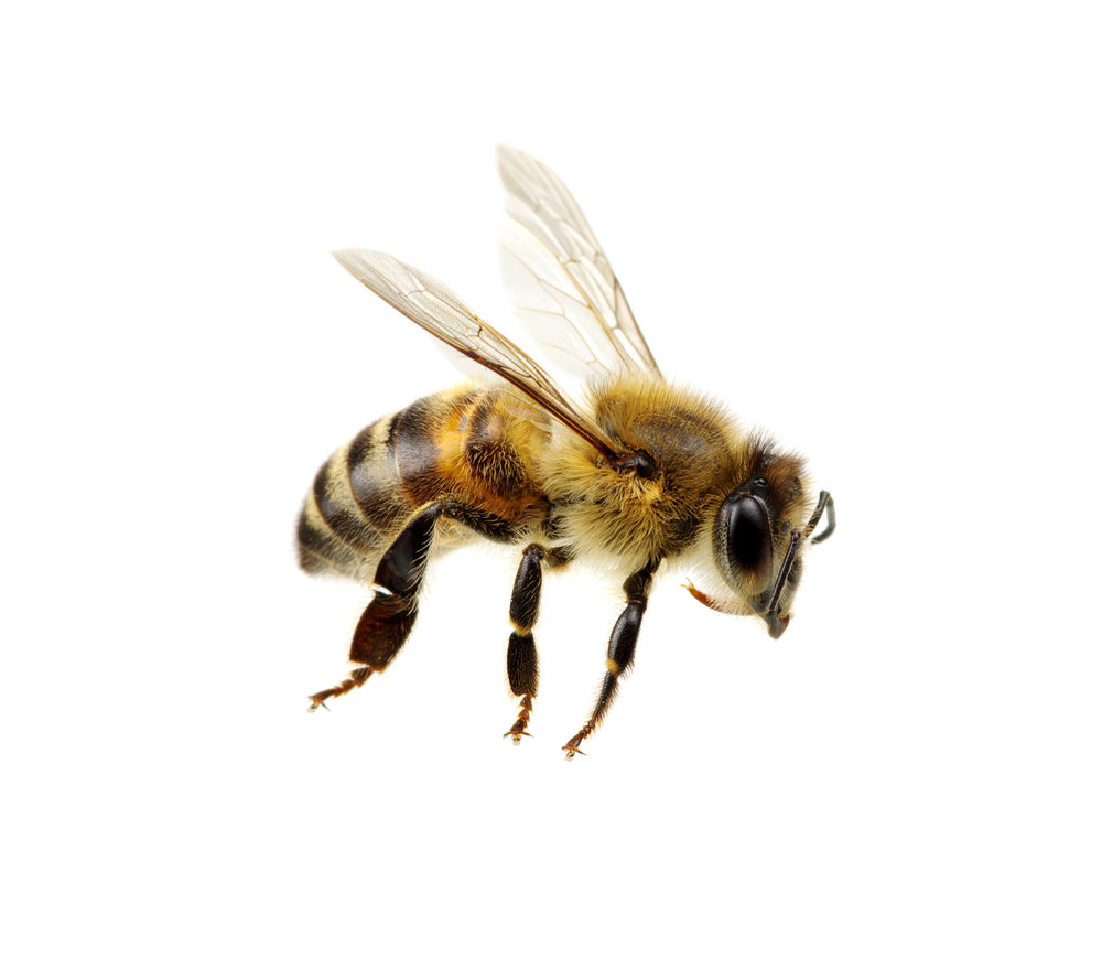 honey-bee-facts-indentification