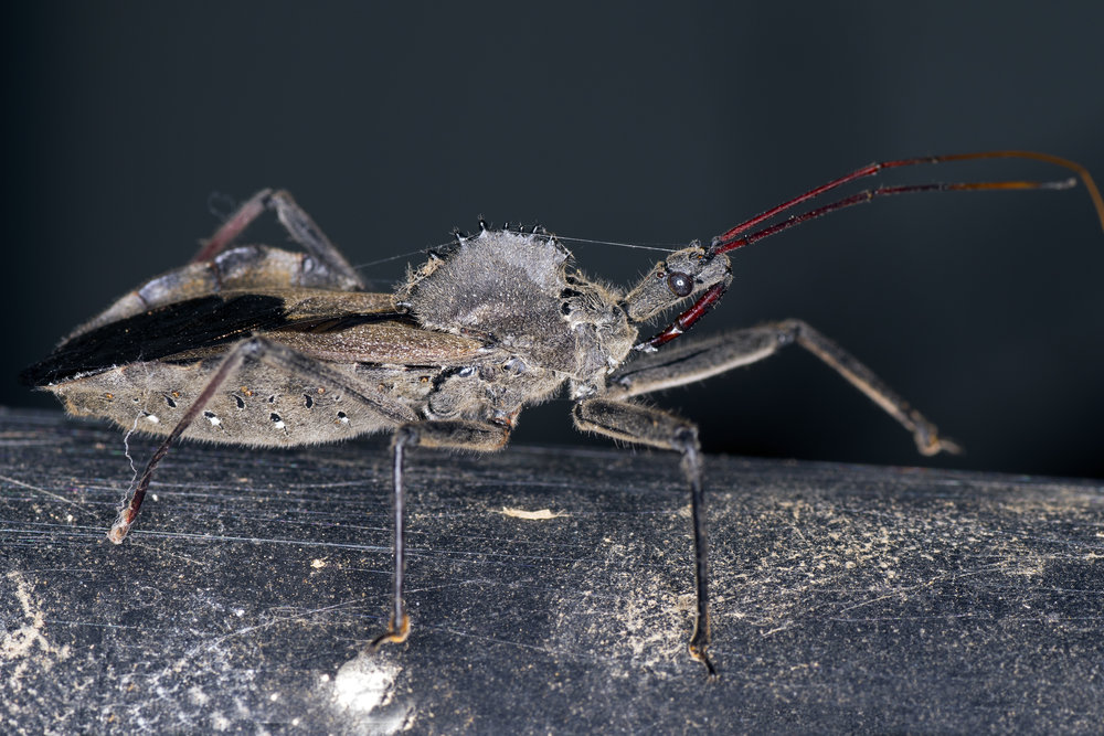 wheel-bug-indetification