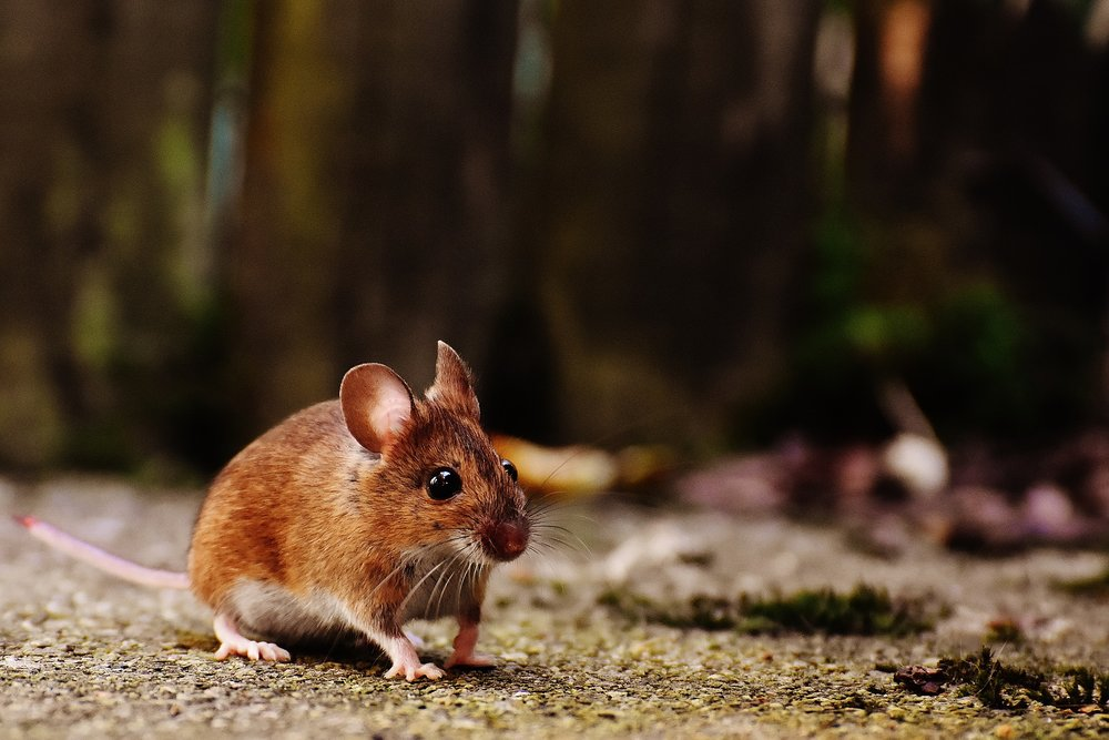 Mice are smaller than rats and have larger ears. Mice will have gray or brown fur with white bellies. The head of a mouse is triangular with long whiskers. Mice have long tails with hair.