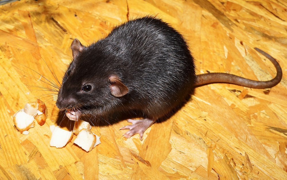 Rats are larger than mice and leave behind larger droppings. Rats may be black, gray or brown with white stomachs. The head a rat is more blunt in appearance when compared to a mouse Rats have tails that are pinkish, long, and hairless.
