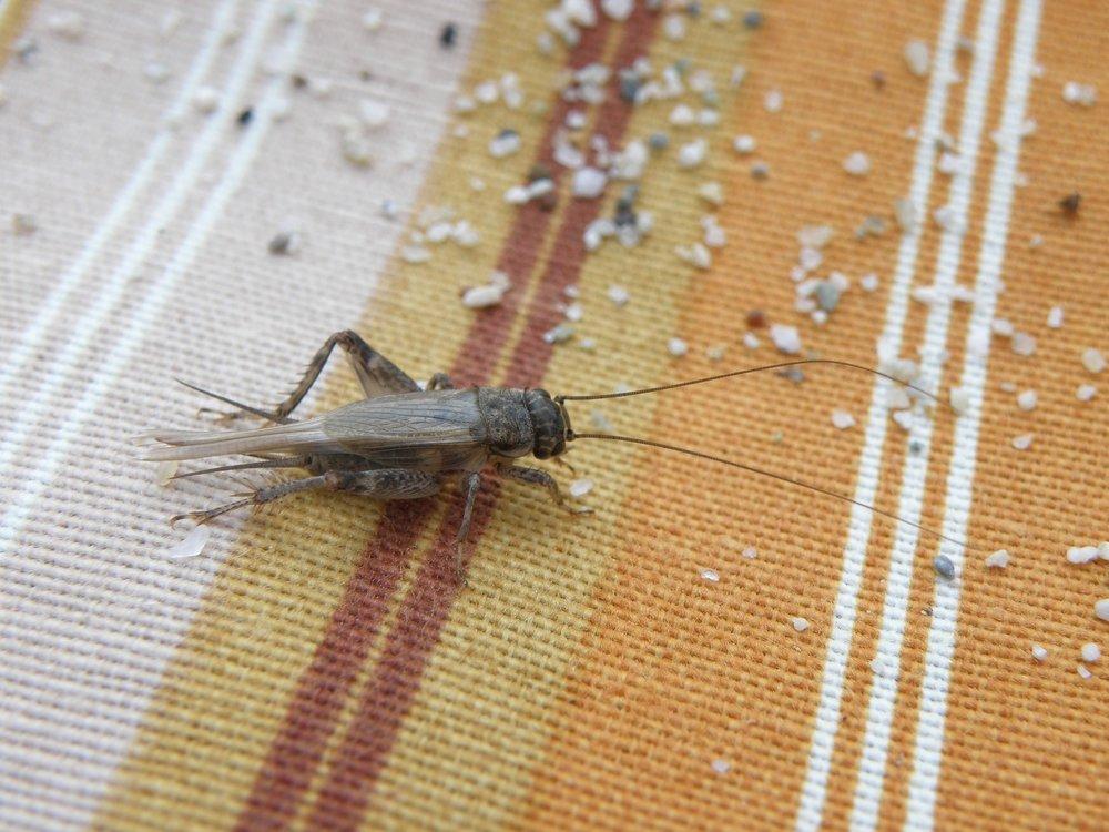 cricket-451796_1920.jpg