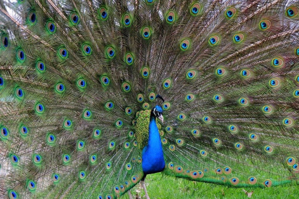 Otis the Peacock