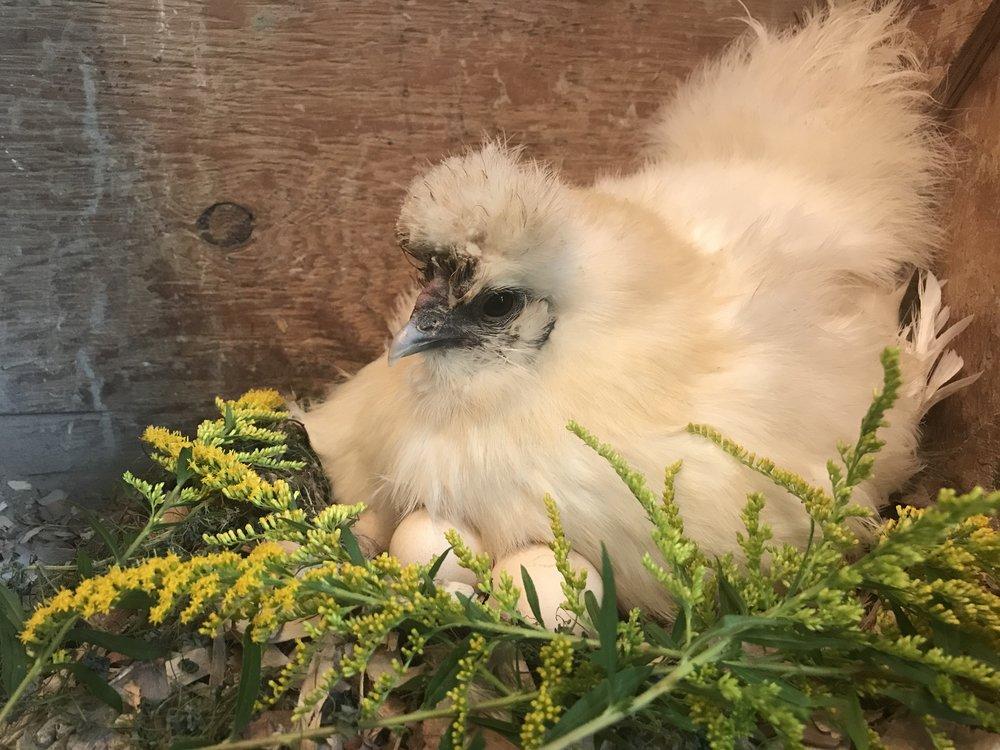 Silkie Hen on Eggs
