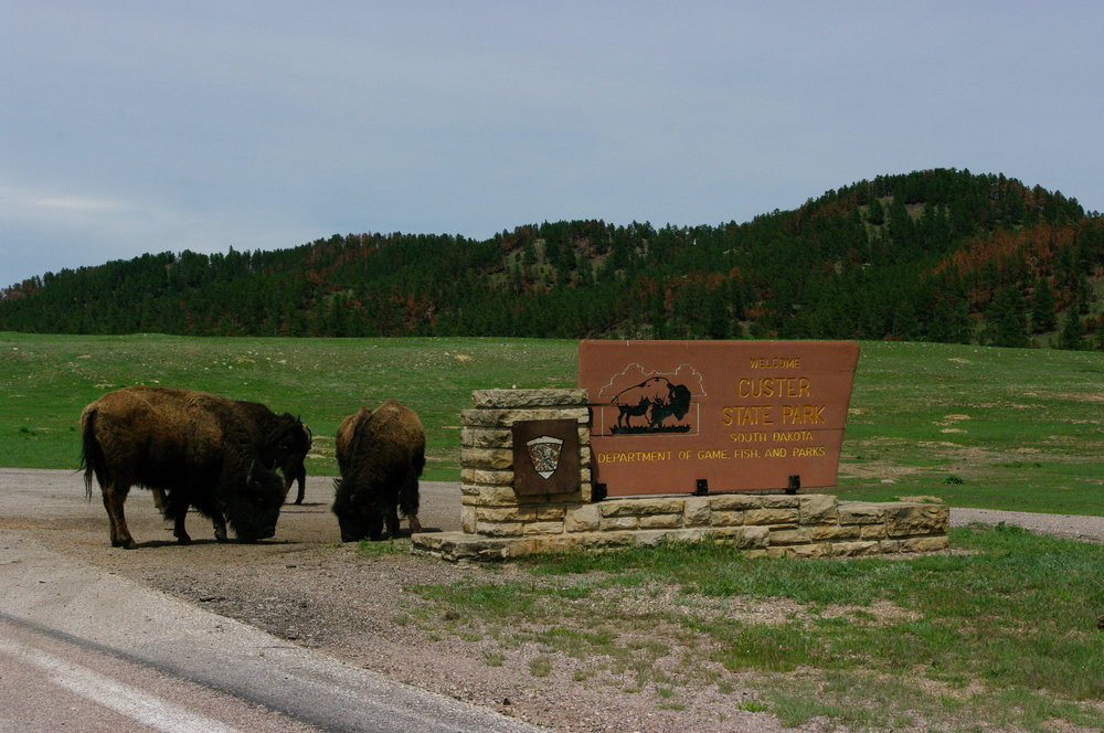 Buffalo at Custer Park