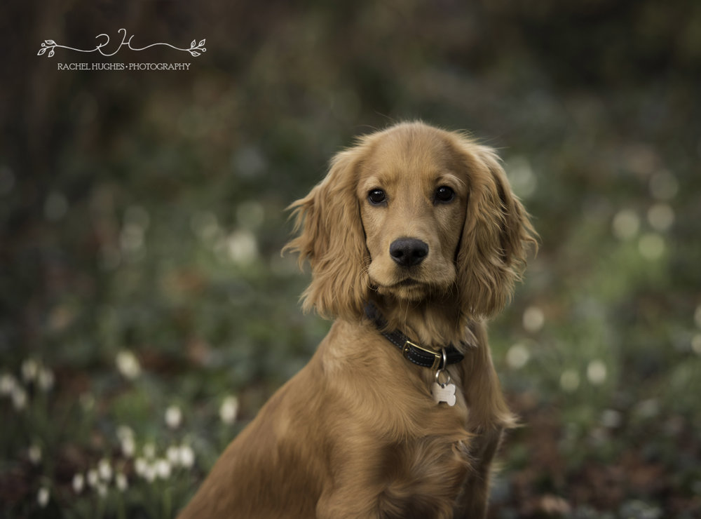 Outdoor pet photoshoot of golden spaniel puppy in snowdrops.jpg
