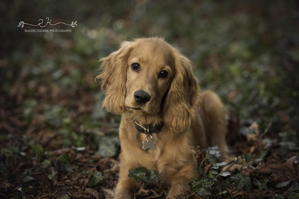 Outdoor pet photoshoot of golden spaniel puppy on woodland floor.jpg