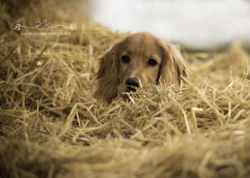 Outdoor pet photoshoot of golden spaniel puppy in haystack.jpg