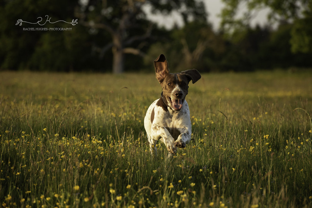 Jersey photographer - English pointer dog in meadow