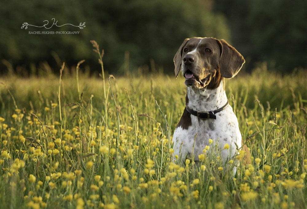 Jersey photographer - English pointer dog in buttercups