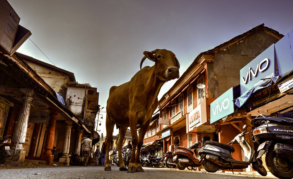 margao cow.jpg