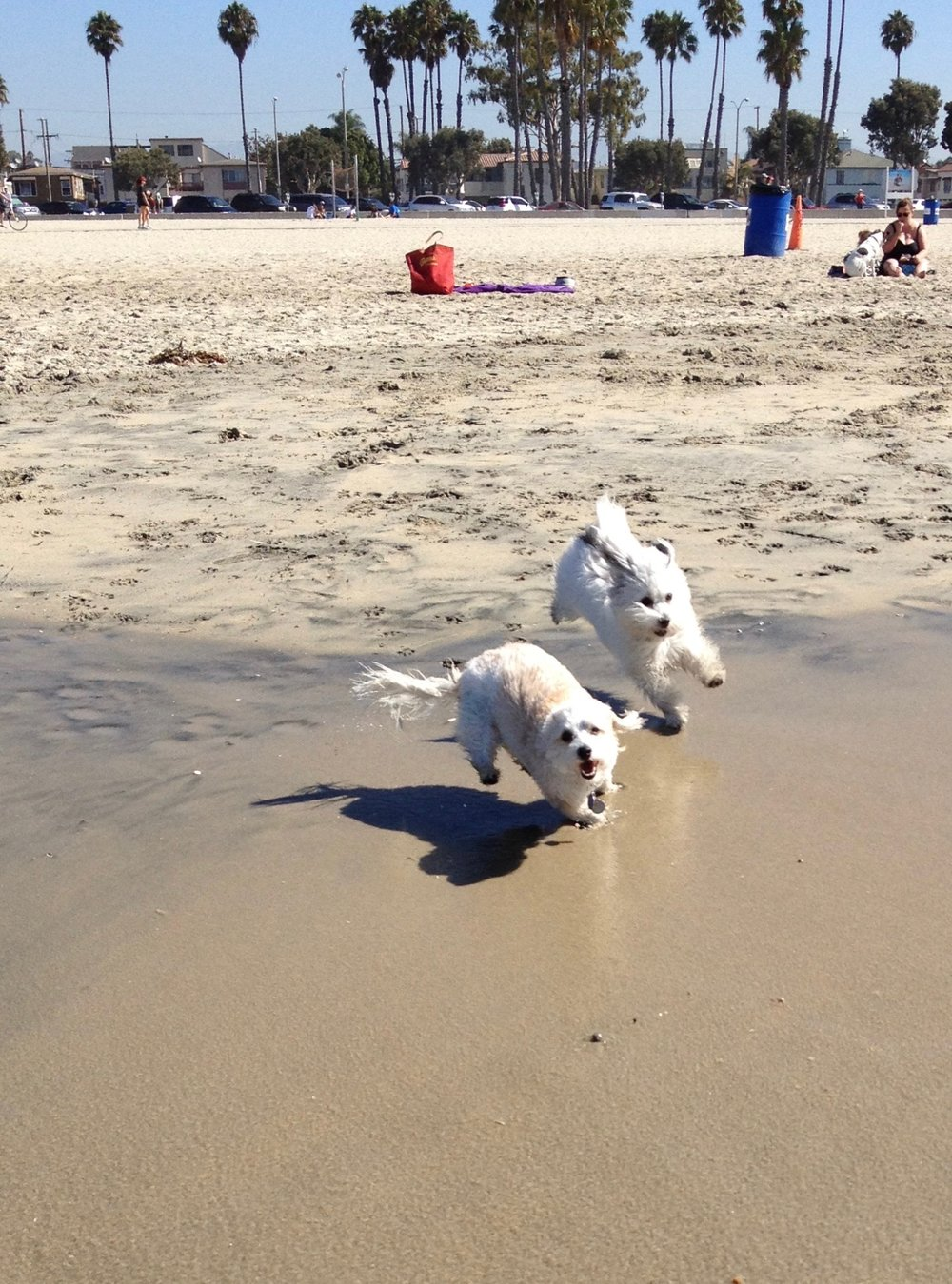 Cotons love the beach! - Fifine and Daphne