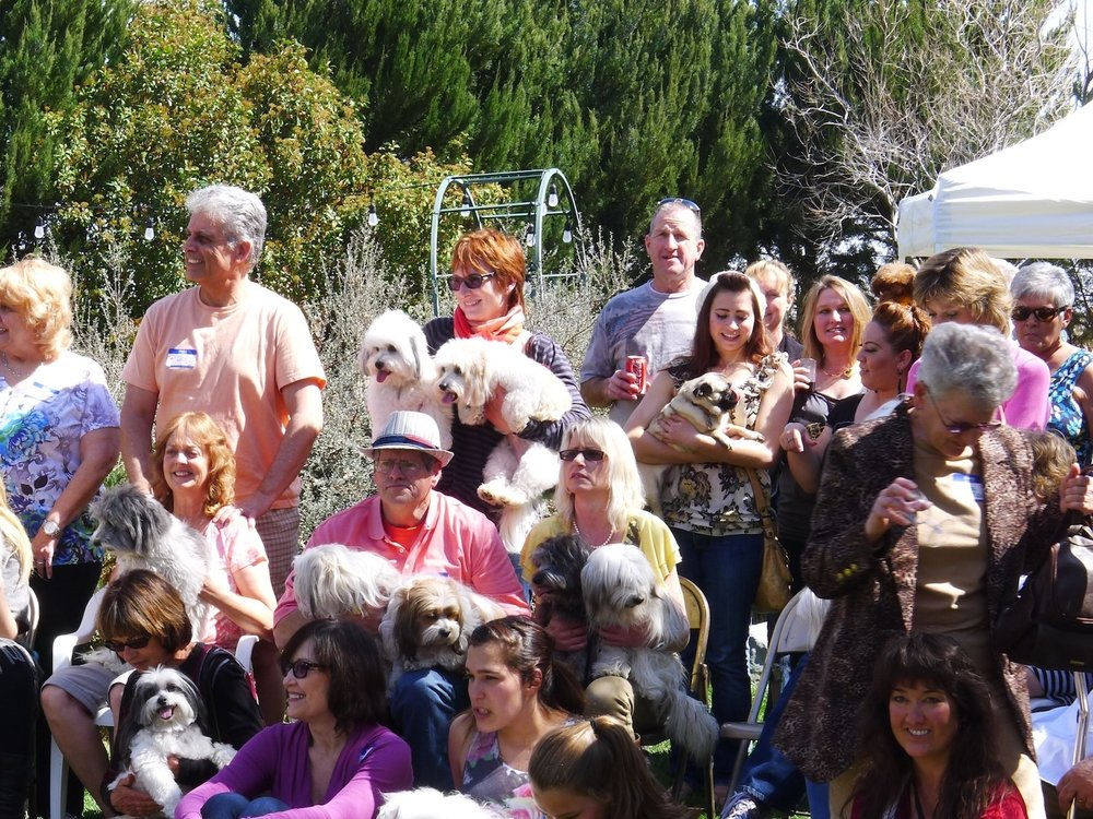 Cotons love to go to parties! - Coreen Savikko's Annual Coton de Tulear Party, 2013