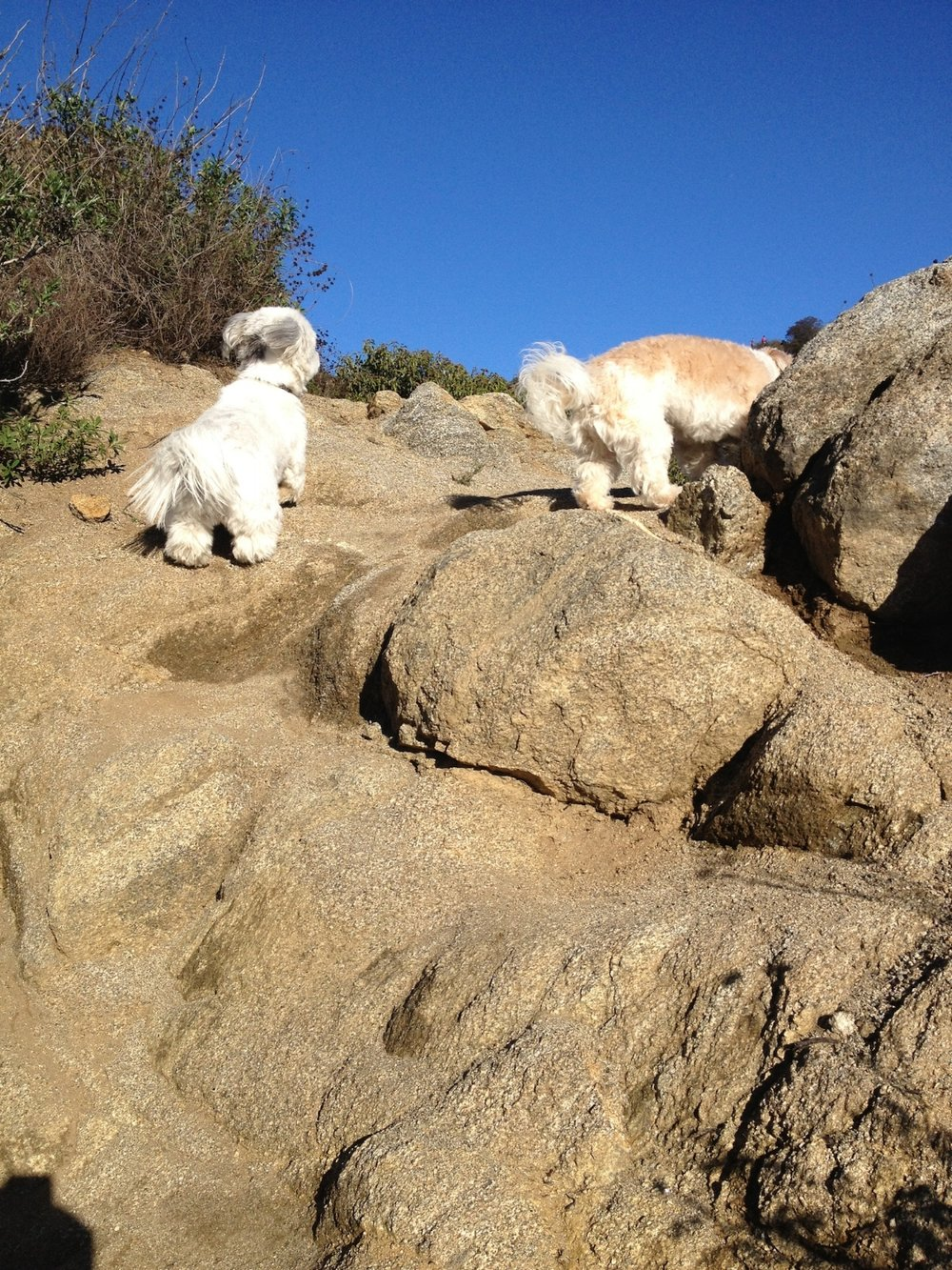 Cotons love to hike! - Daphne and Fifine