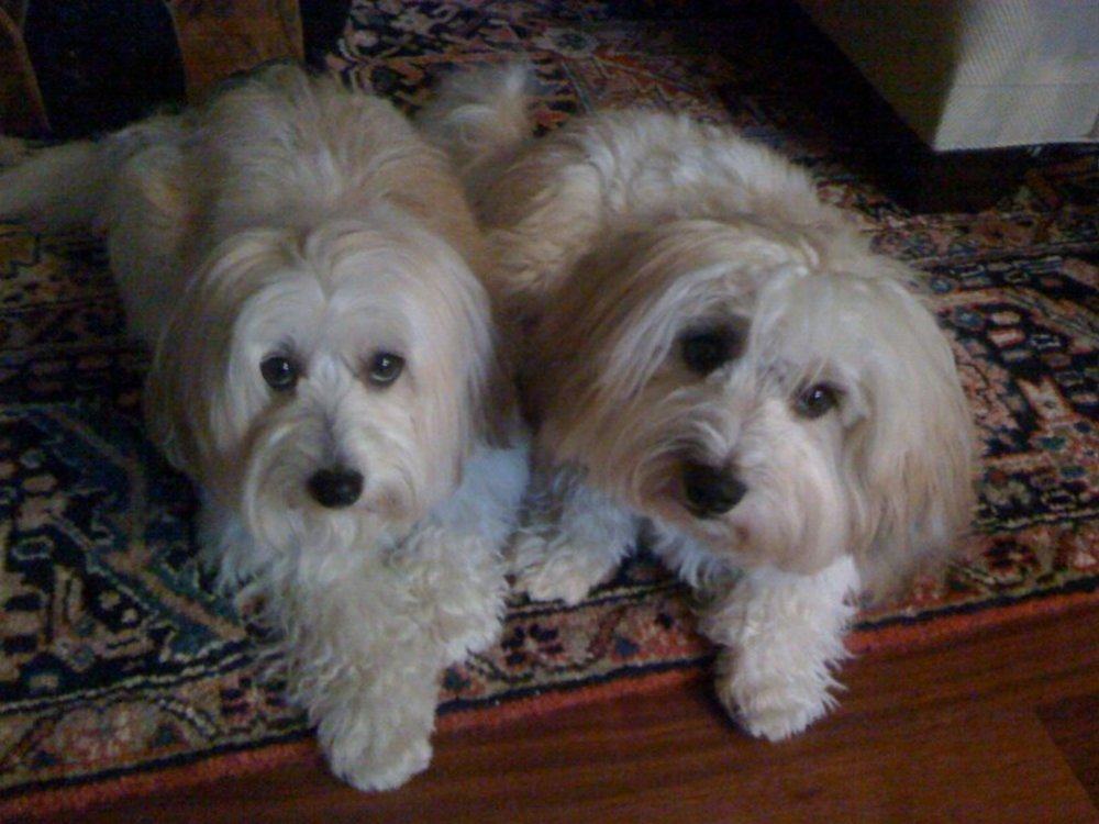 Lady Lily of Alika Cotons and Apollo of Tar Heel Cotons, my parents.