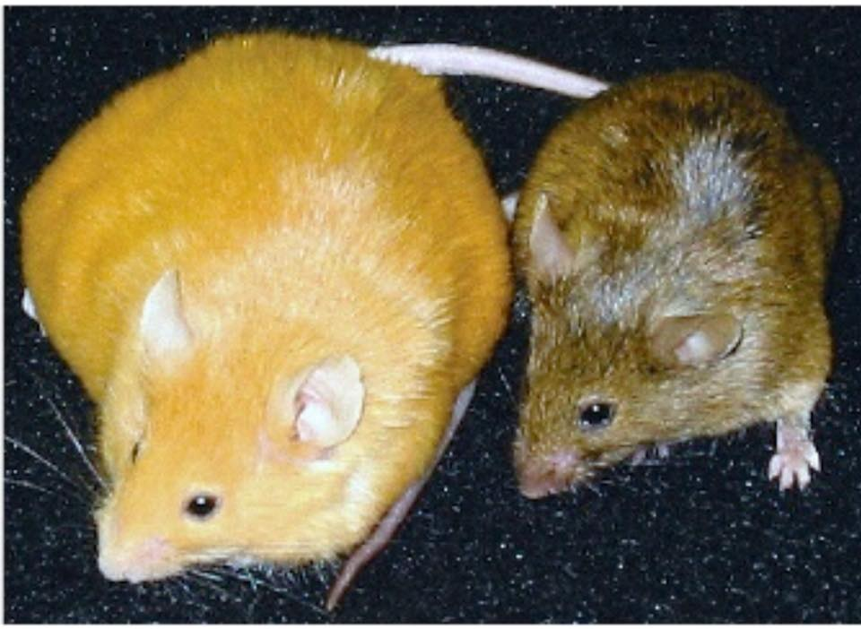 The mouse on the left:  Mother was fed a moderate amount of BPA, the mouse is obese and has a higher risk of cancer and diabetes.   The mouse on the right:  Mother was fed a natural diet of methyl donating nutrients and is normal in weight with a decreased risk of cancer and diabetes.