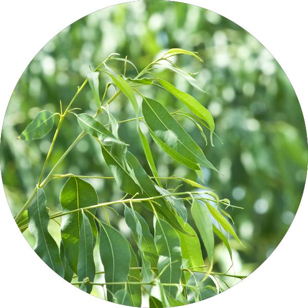9_eucalyptusradiata.png