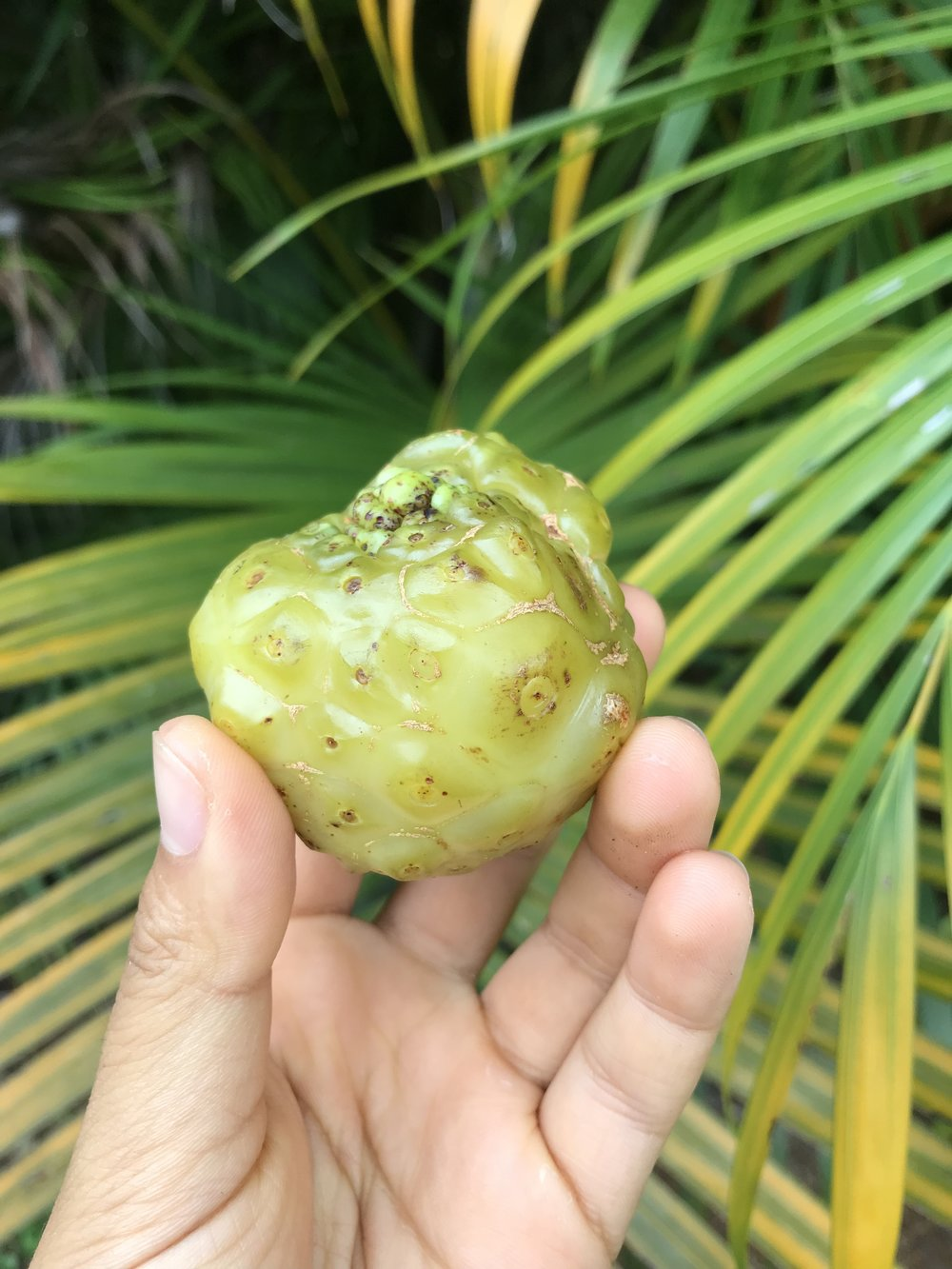 Ripe noni fruit
