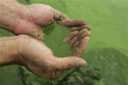 Algae in Lake Tai |  Reuters